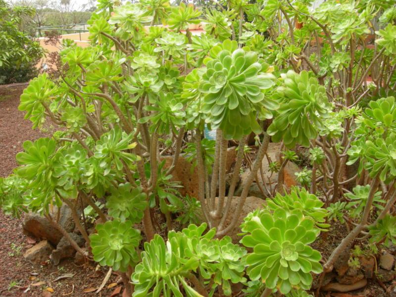 Recorrido por las plantas end micas de canarias for Jardin canario horario