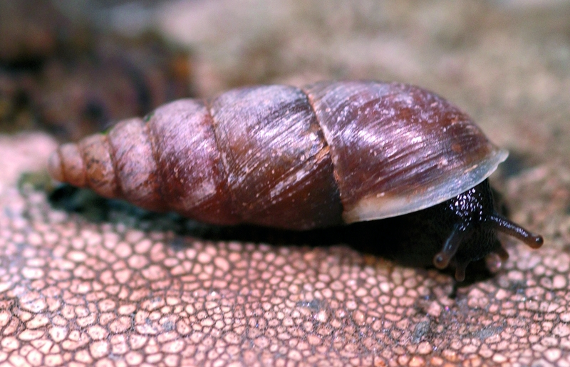 Chuchanguita de La Isleta (Napaeus isletae) - Fuente: Biodiversia