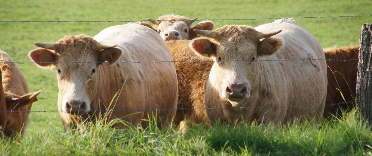 Vacas. Fuente: Pixinio