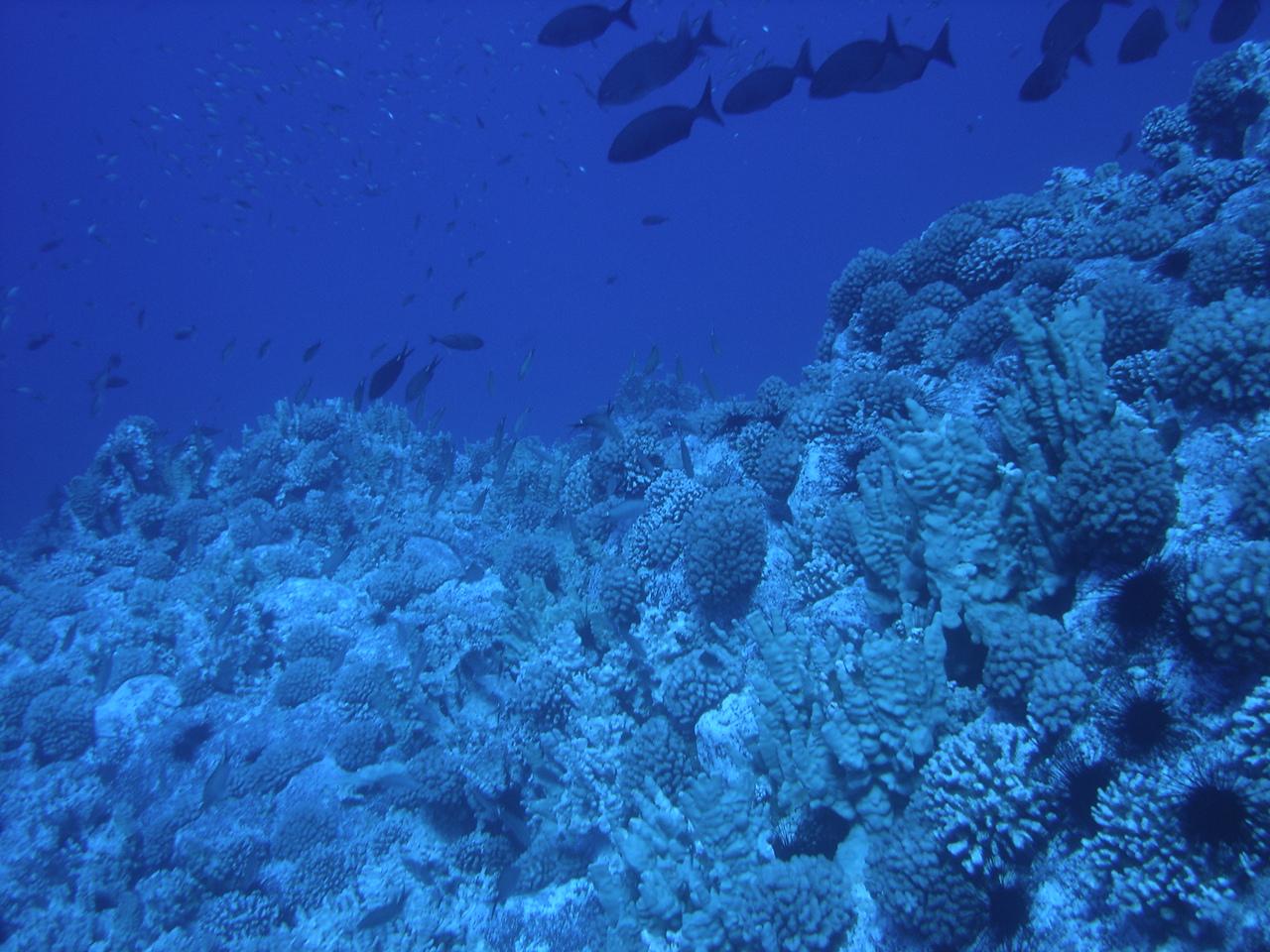 Corales. Fuente: Wikimedia